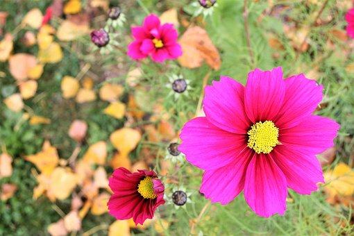 Anemones, Autumn, Yellow Leaves, October, Flowers