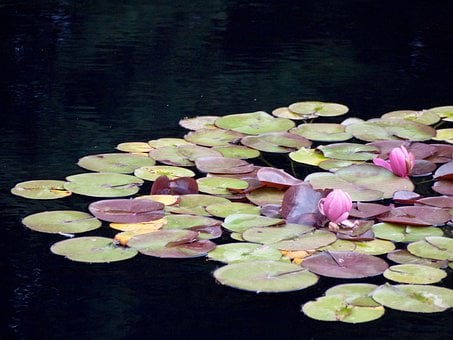 Waterlily, Waterlilies, Pond, Flowers, Pads, Pad, Lily