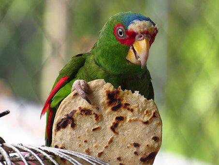 Parrot, Tortilla, Nature