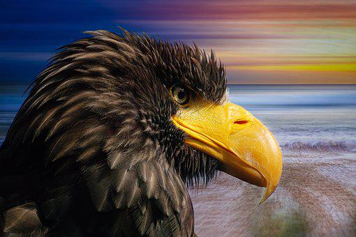 White Tailed Eagle, Bird Of Prey, Raptor, Adler, Bird