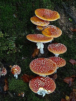 Red Fly Agaric Mushroom, Mushrooms, Fly Agaric, Autumn