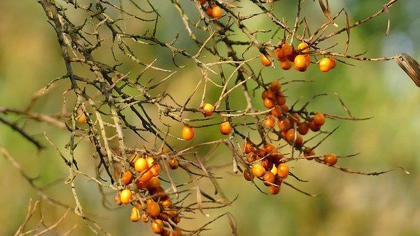 Autumn, Sea Buckthorn, Plant, Bush, Fruits, Berries