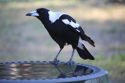 Australian Magpie, Magpie, Bird, Black, White, Animal