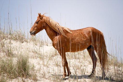 Wild Spanish Mustang, Animal, Horse, Wild Horse