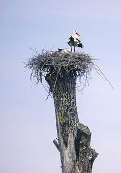 Stork, Bird, Nature, Storks, Animals, Rattle Stork