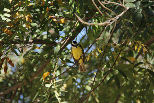 Bird, Bem-te-vi, Nature, Environment, Animal, Birdie