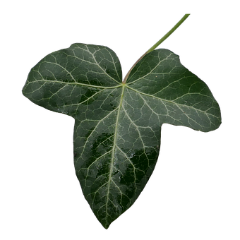 Ivy, Ivy Leaf, Green, Leaf Green, Isolated, Cut Out