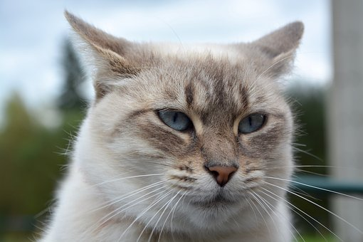Cat, Head Cat, Cat Eyes, Pussy, Female, Feline
