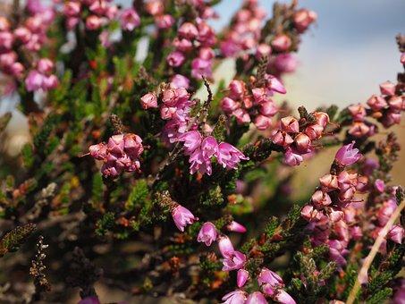 Heather, Heide, Flowers, Pink, Calluna Vulgaris
