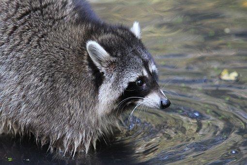 Raccoon, Bear, Forest Animal, Animal, Nature, Furry