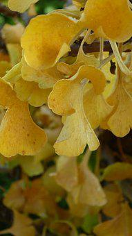 Ginkgo, Tree, Yellow, Fall Leaves, Medicinal Herb