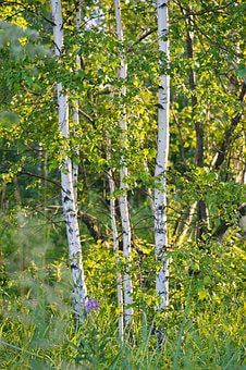 Birch, Summer, White, Forest, Green, Grove, Tree