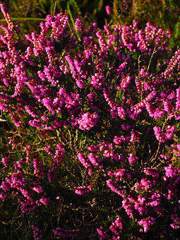 Heather, Flowers, Colorful, Pink, Violet, Heide