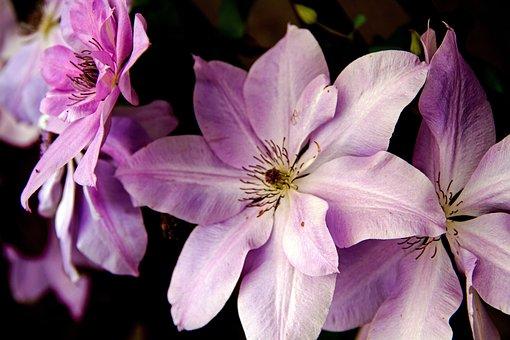 Flower, Clematis, Flora, Plant, Purple, Lavender, Three