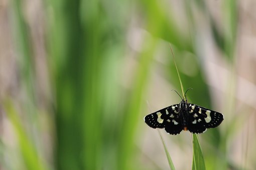 Butterfly, Moth, Black, White, Grass, Stem, Insect