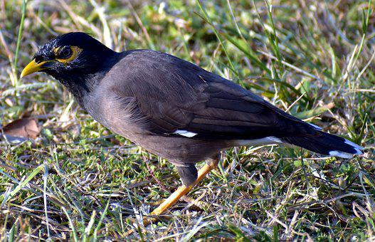 Myna, Common Myna, Mynah, Acridotheres Tristis, Bird