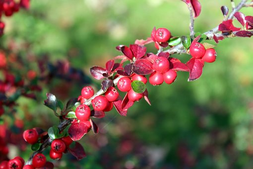 Cotoneaster, Bush, Red Fruits, Beads, Ornamental Plants