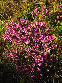 Heather, Heide, Flowers, Pink, Calluna Vulgaris
