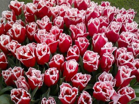 Tulip, Red, Dutch Tulips, Flower