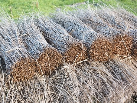 Reed, Reeth, Reth, Reith, Riet, Tube, Dried, Roofing