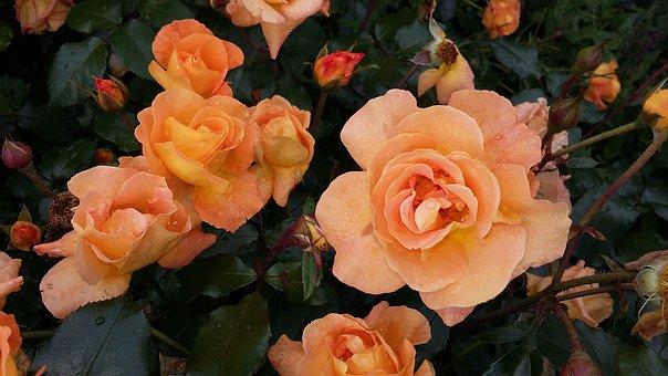 Roses, Orange, Flower, Garden, Blossom, Bloom