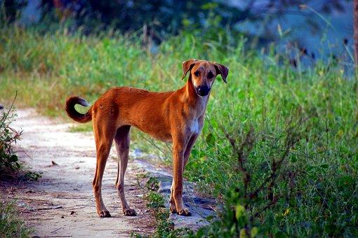 Yellow Pariah Dog, Pye-dog, Canine, Street Dog