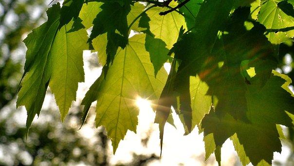 Sunlight, Green, Leaf, Nature, Summer, Sunny, Tree