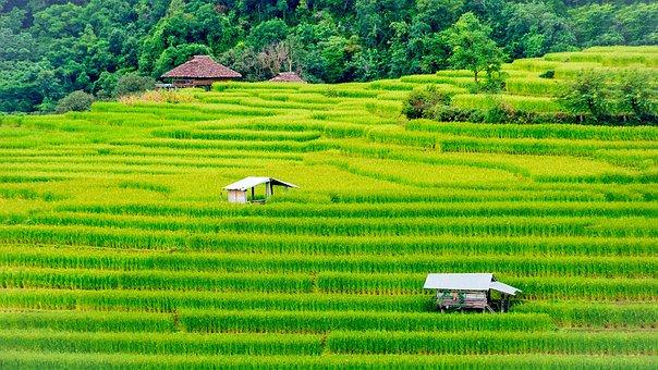 Rice, Field, Farm, Thailand, Farmland, Nature, Tourism