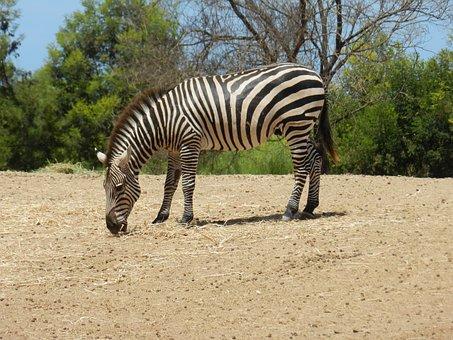Zebra, Africa, Zoo, Animal, Safari, Nature, Tanzania