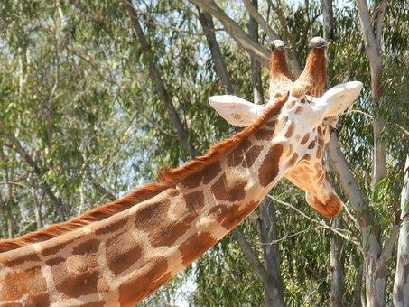 Giraffe, Zoo, Animal, Eat, Animals, Leaf, Africa