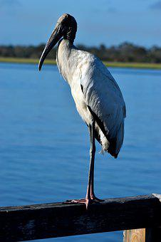 Wood Stork, Bird, Avian, Waterbird, Tropical, Beak