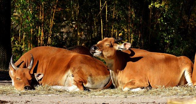 Banteng, Beef, Bos Javanicus, Wild