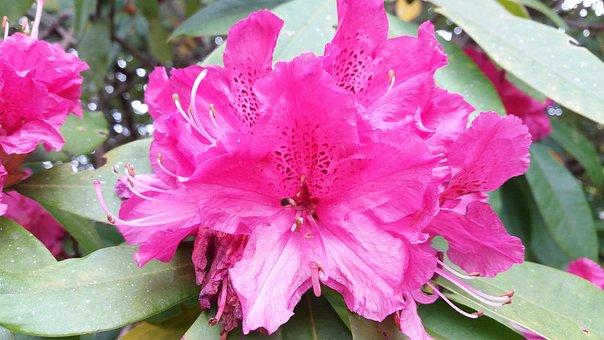 Pink Flower, Rhododendron, Detail, Flower, Macro
