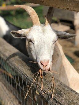 Goat, Farm, White Goat, Goat Eating, Animal