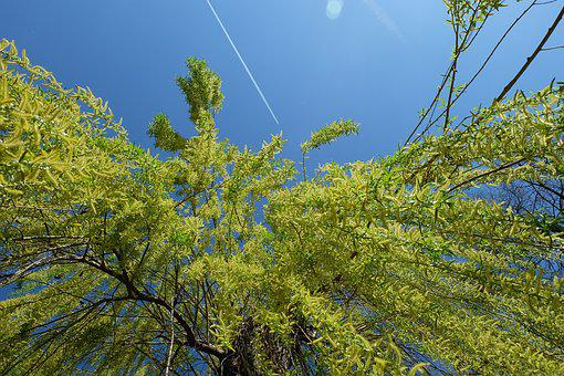 Nature, Tree, Willow, Sky, Blue, Green, Plane, Trace