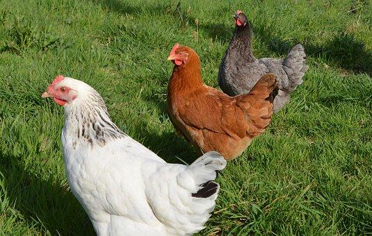 Laying Hens, White Hen Sussex, Red Hen, Hen Grey Ash