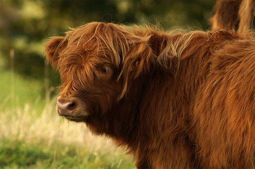 Beef, Highland, Bull, Scottish Hochlandrind