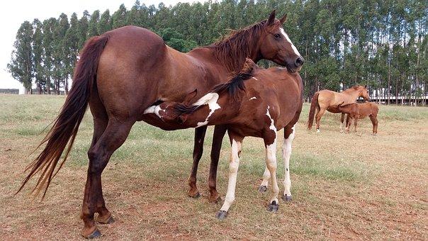 Stallion, Horse, Colt, Mare, Quarter Mile