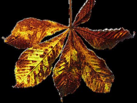 Leaf, Autumn Leaf, Fall Color, Chestnut, Chestnut Leaf