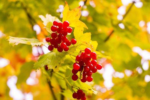 Autumn, Viburnum, Leaves, Red, Nature, Berry