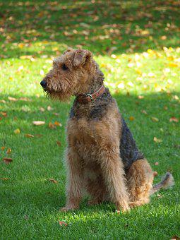 Dog, Airedale, Meadow