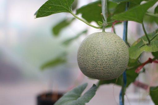 Melon, Garden, Green