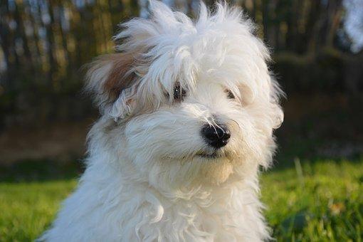 Dog, Puppy, Cotton Tulear, Animal, Petit, Soft, Nature