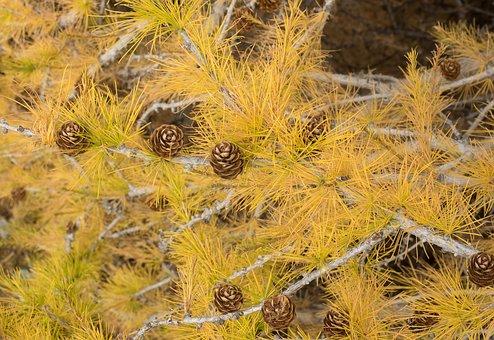 Nature, Trees, Coniferous, Larch, Larix Decidua