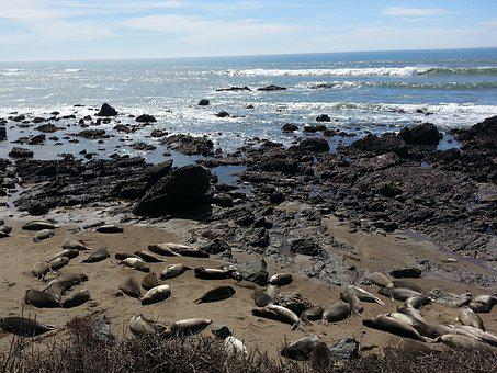 Seals, Coastline, Pacific