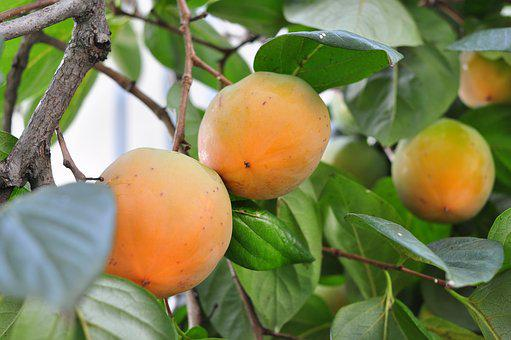 Persimmon, Fruit, Plant, Plants, Greenness, The Leaves