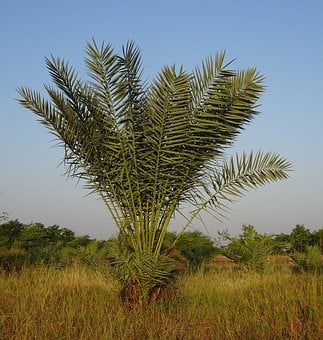 Date Palm, Tree, Young, Phoenix Dactylifera, Plantation