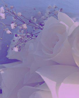 Roses, Photography, Flower, Floral, White, Decoration