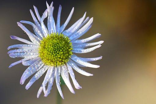 Asteraceae, Ticket Aster, Blossom, Bloom, Flower, White