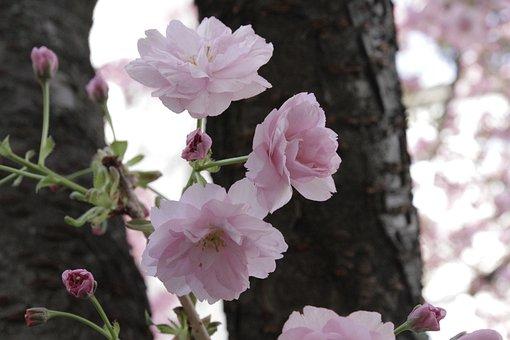 Japanese Cherry, Tree, Vienna